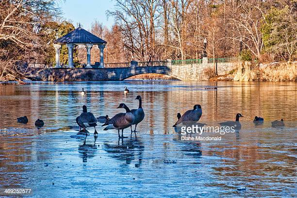 Mallard ducks and Canada geese on a frozen lake