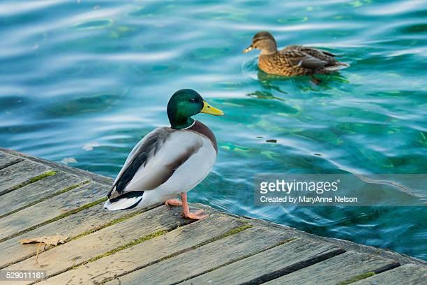 mallard ducks at plitvice - germano reale foto e immagini stock