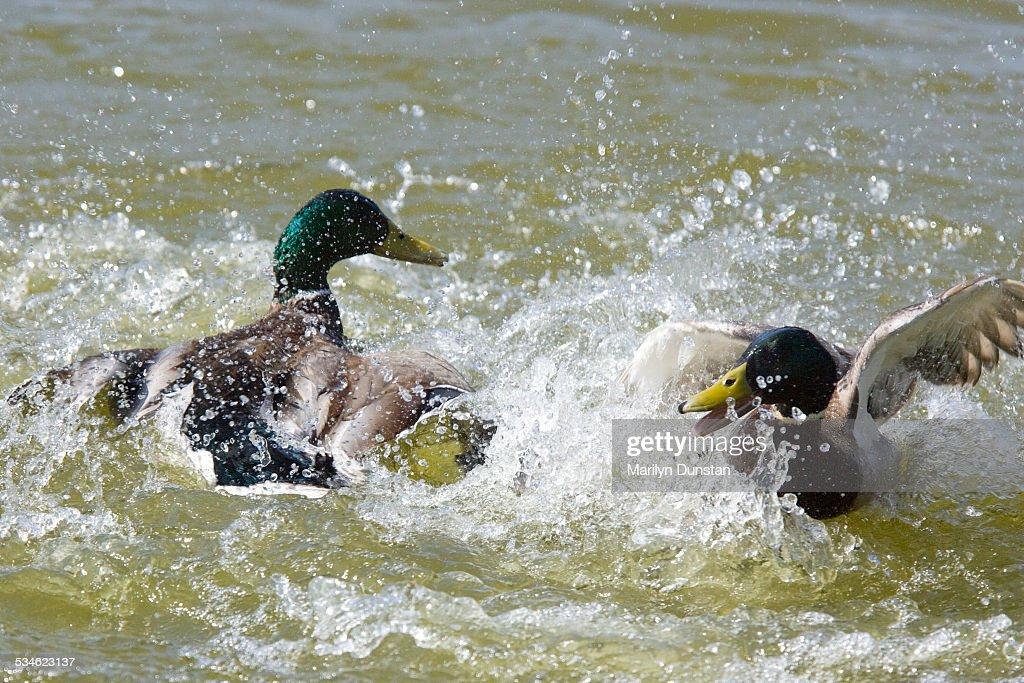 Mallard ducks fighting : Stock Photo