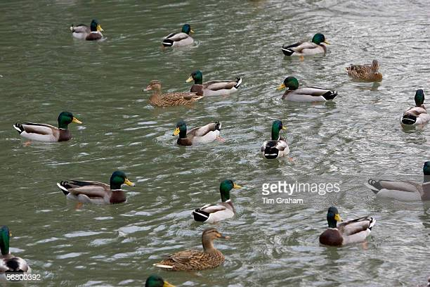 Mallard ducks in River Windrush, Burford, UK. Feral birds may be at risk from Avian Flu bird flu virus.