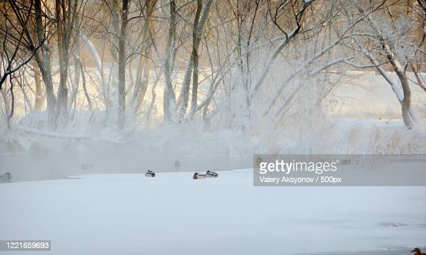 mallard ducks in winter scenery - 水鳥 ストックフォトと画像