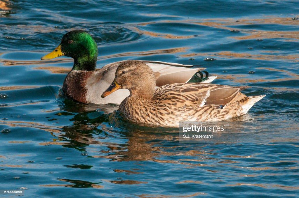 Mallard Ducks Male And Female Swimming Close To Viewer Stock Photo