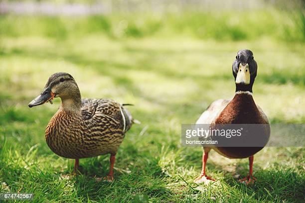 mallard ducks on grassy field - germano reale foto e immagini stock