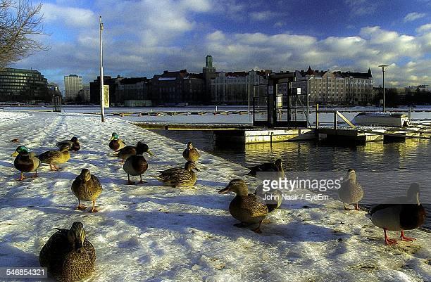 Mallard Ducks On Snow Covered Walkway By Lake In Front Of Cityscape