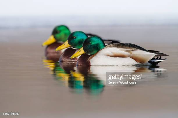 Mallard ducks swimming in lake