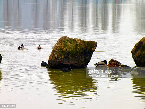 Mallard Dusks By Rocks In Lake