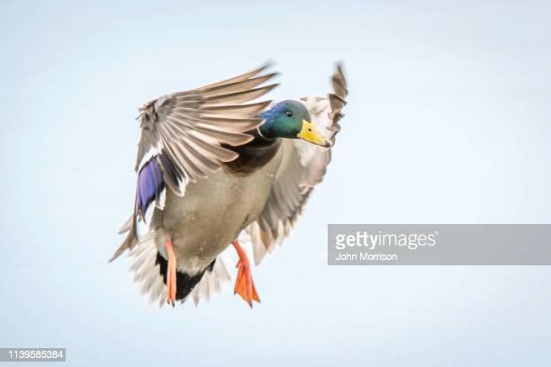 mallard landing - germano reale foto e immagini stock