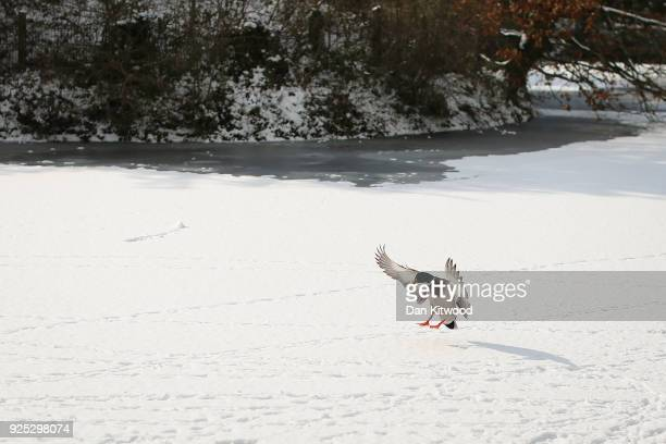 Mallard lands on a frozen pond in Dulwich Park on February 28 2018 in London United Kingdom Freezing weather conditions dubbed the Beast from the...
