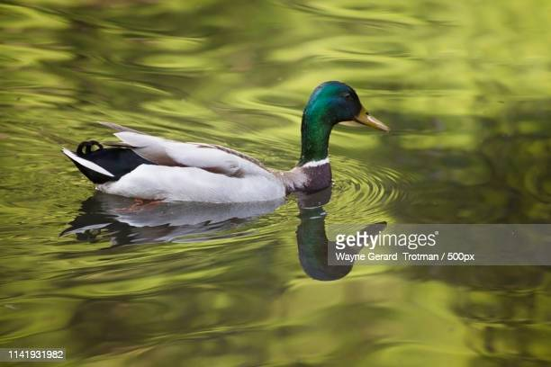 mallard - wayne gerard trotman stock pictures, royalty-free photos & images