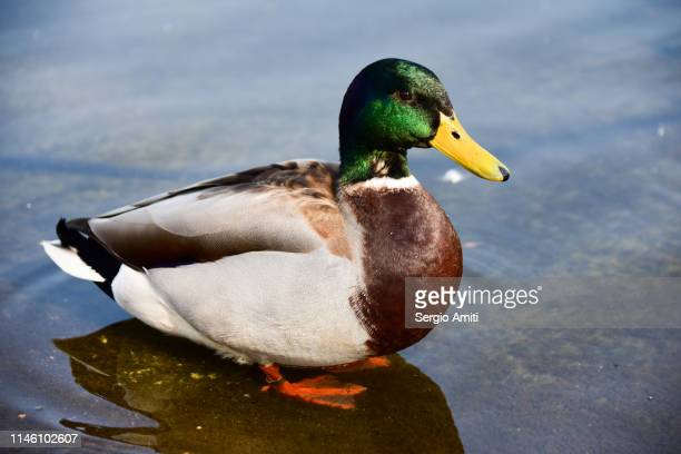 mallard - sergio amiti stock pictures, royalty-free photos & images