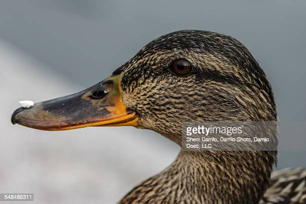 mallard w/ food on its bill - damlo does stock pictures, royalty-free photos & images