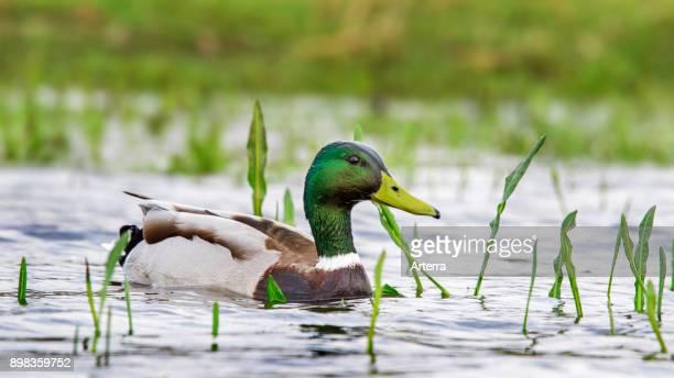 Mallard / wild duck male / drake swimming in pond
