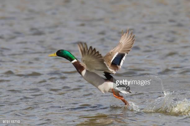 Mallard / Wild Duck male / drake taking off from water in lake