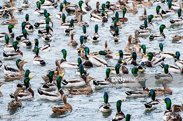 mallards on a pond - ken ilio stock pictures, royalty-free photos & images