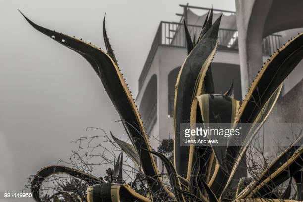 mallorca agave americana - marginata stock pictures, royalty-free photos & images
