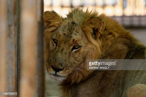 A malnourished lion sits in his cage at the AlQureshi park in the Sudanese capital Khartoum on January 19 2020 Sudanese citizens and activists have...