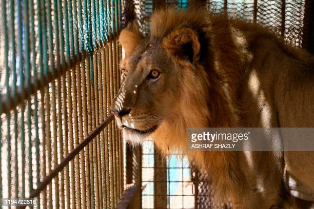 A malnourished lion walks in his cage at the AlQureshi park in the Sudanese capital Khartoum on January 19 2020 Sudanese citizens and activists have...
