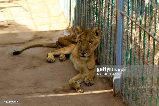 A malnourished lioness sits in her cage at the AlQureshi park in the Sudanese capital Khartoum on January 19 2020 Sudanese citizens and activists...