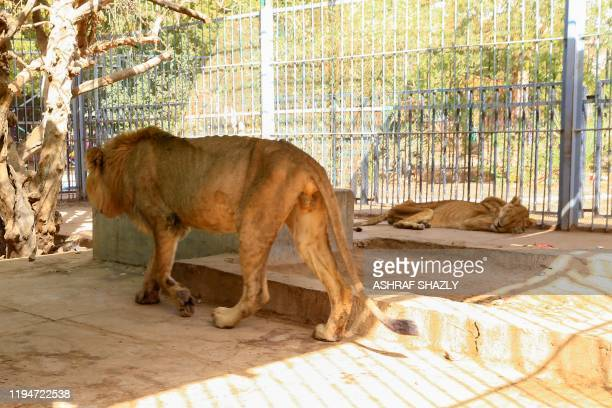 Malnourished lions are seen in their cage at the AlQureshi park in the Sudanese capital Khartoum on January 19 2020 Sudanese citizens and activists...