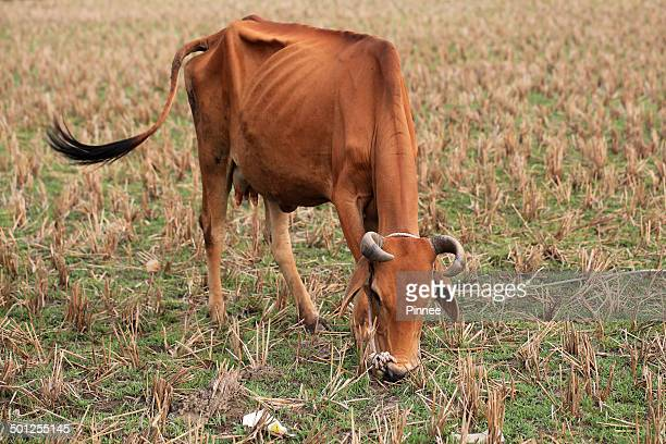 A malnourished milker on the rice farm