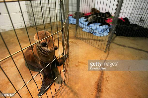 Malnourished sea lion pup and several baby harbor seals held in the nursery of a facility caring for sea lions poisoned by toxic domoic acid, the...