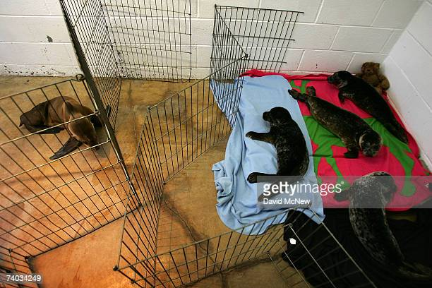 A malnourished sea lion pup and several baby harbor seals held in the nursery of a facility caring for sea lions poisoned by toxic domoic acid the...