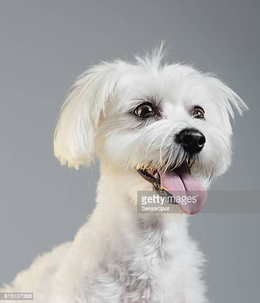 Maltese bichon dog portrait