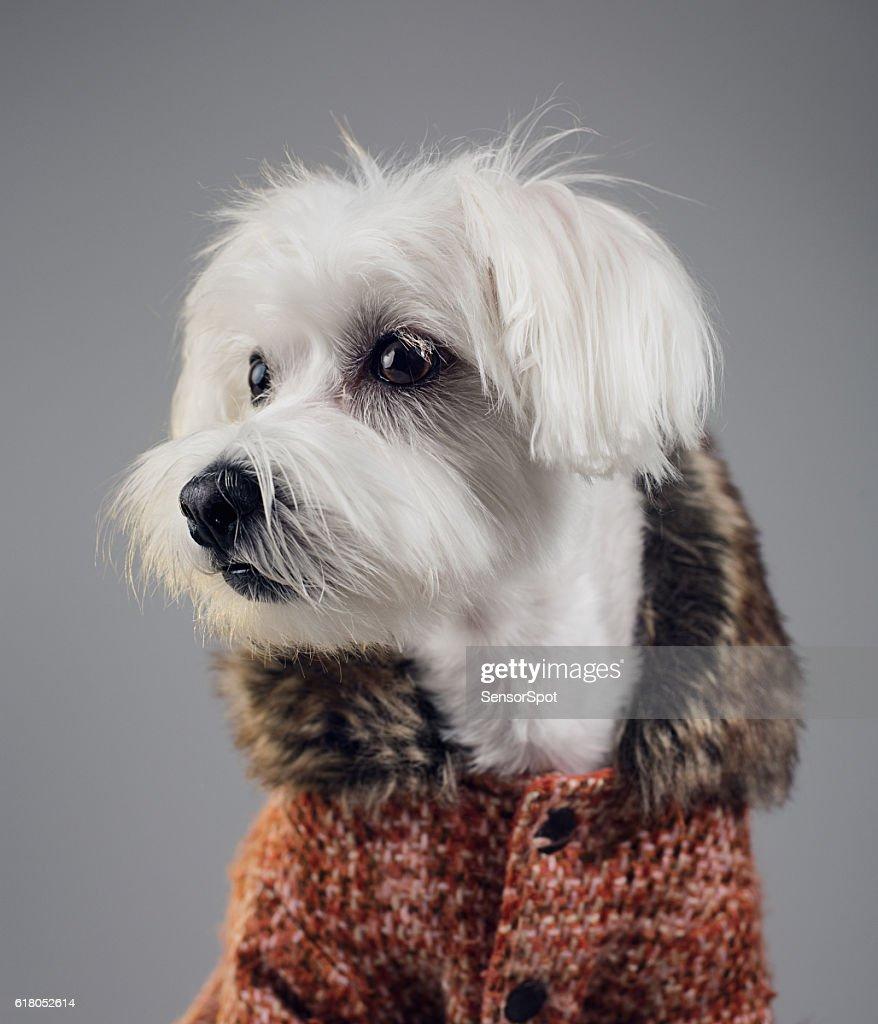 Maltese bichon dog portrait : Stock Photo
