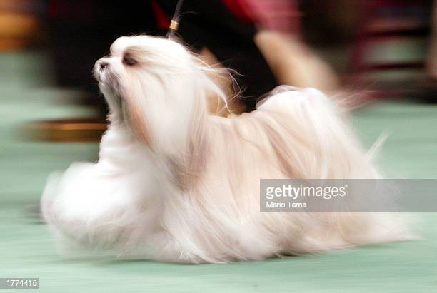 Maltese competes on the opening day of the 127th Westminster Kennel Club Dog Show February 10 2003 at Madison Square Garden in New York City The show...