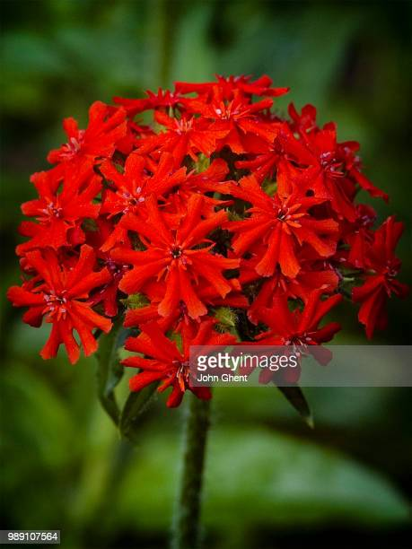 maltese cross - maltese cross stock photos and pictures