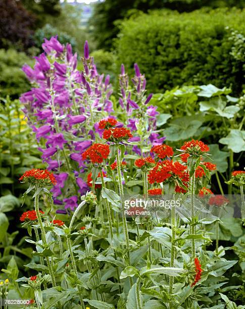 maltese cross (lychnis chalcedonica). red flowers atop hairy stems - maltese cross stock photos and pictures