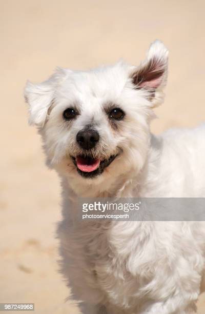 maltese cross terrier dog - maltese cross stock photos and pictures