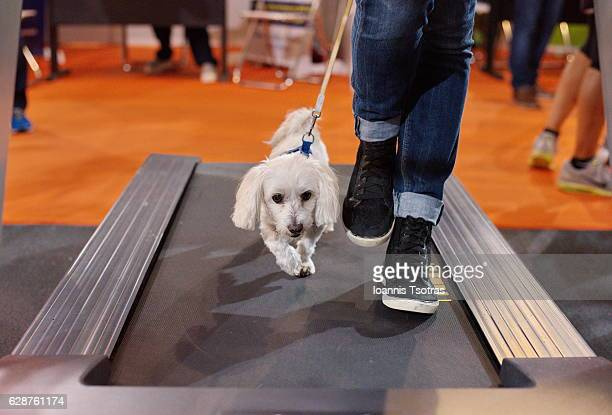 maltese dog and owner walking on a running machine - maltese dog stock pictures, royalty-free photos & images