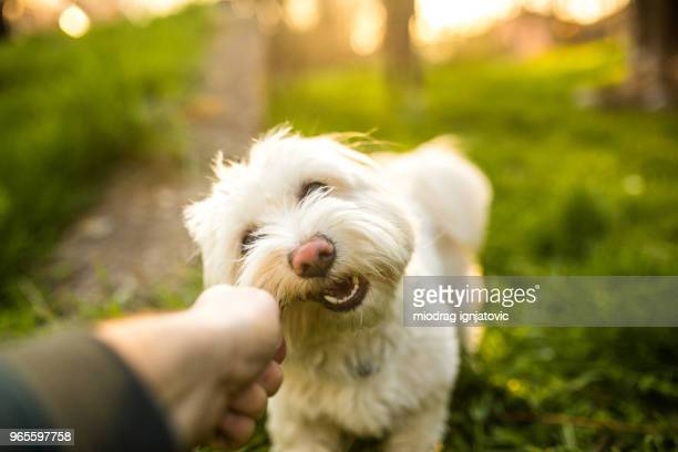 maltese dog biting a stick - lap dog stock pictures, royalty-free photos & images