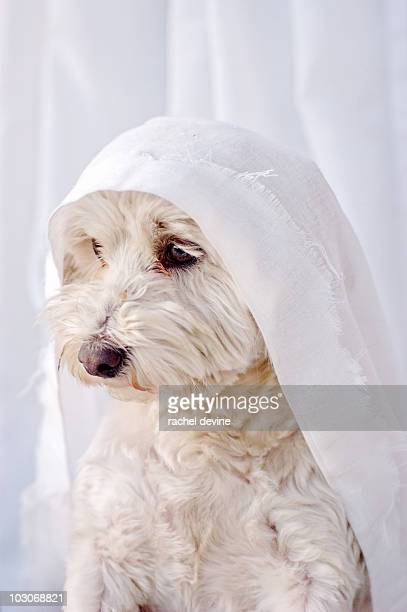 Maltese dog caught in white curtain
