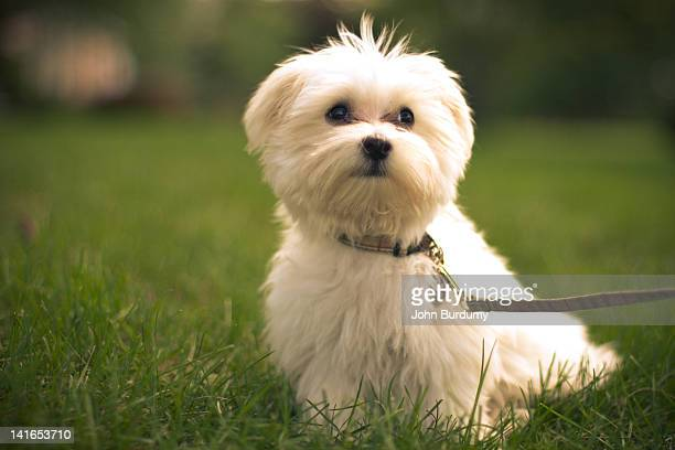 Maltese dog in  grass