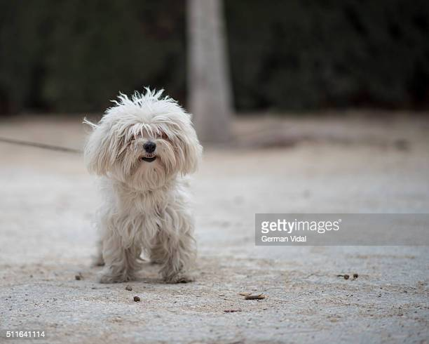 Maltese dog in the park