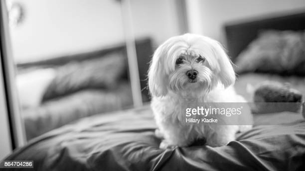 maltese dog on bed - maltese dog stock pictures, royalty-free photos & images