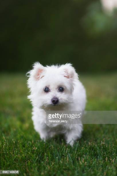 Maltese Dog On Grass Field