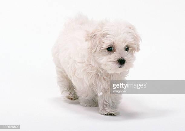 maltese dog - bichon maltais photos et images de collection