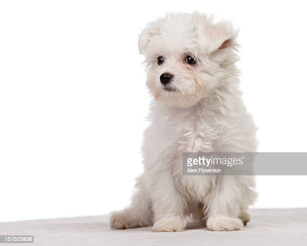 maltese dog - maltese dog stock pictures, royalty-free photos & images