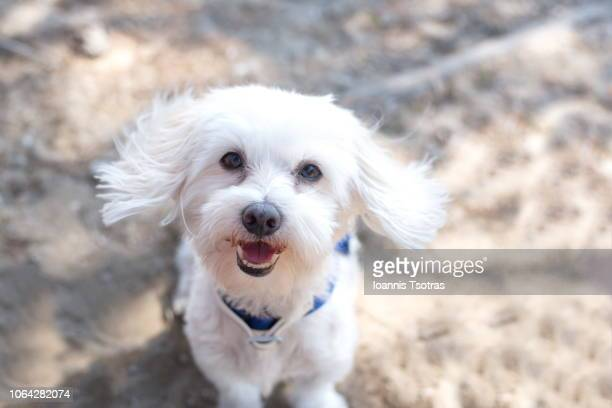maltese dog portrait - maltese dog stock pictures, royalty-free photos & images