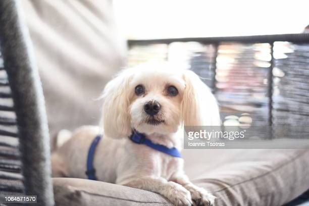 maltese dog relaxing on sofa - maltese dog stock pictures, royalty-free photos & images