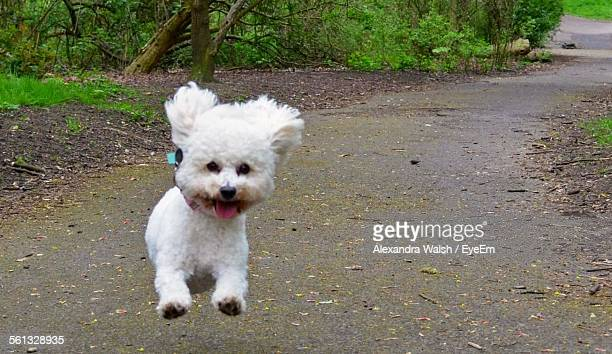 Maltese Dog Running On Road In Park