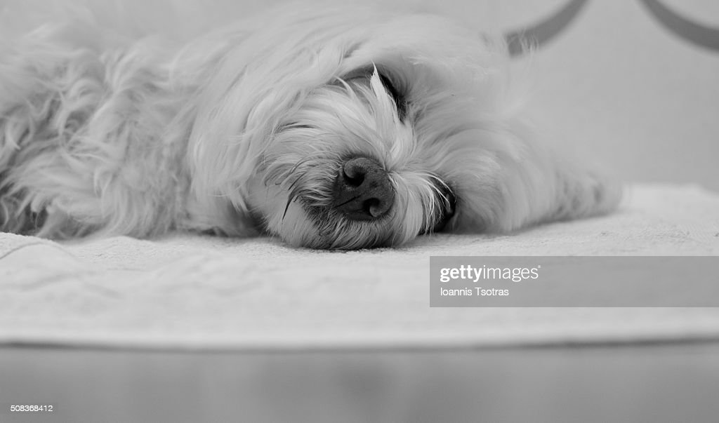 Maltese Dog Sleeping High Res Stock Photo Getty Images