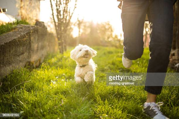 maltese dog smiling and chasing a woman - human leg stock pictures, royalty-free photos & images