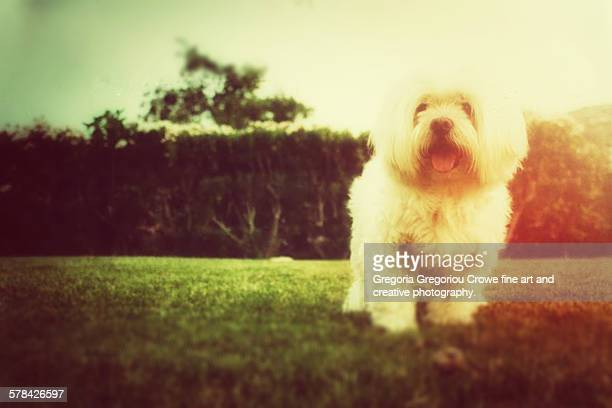 maltese dog standing on green grass - gregoria gregoriou crowe fine art and creative photography fotografías e imágenes de stock