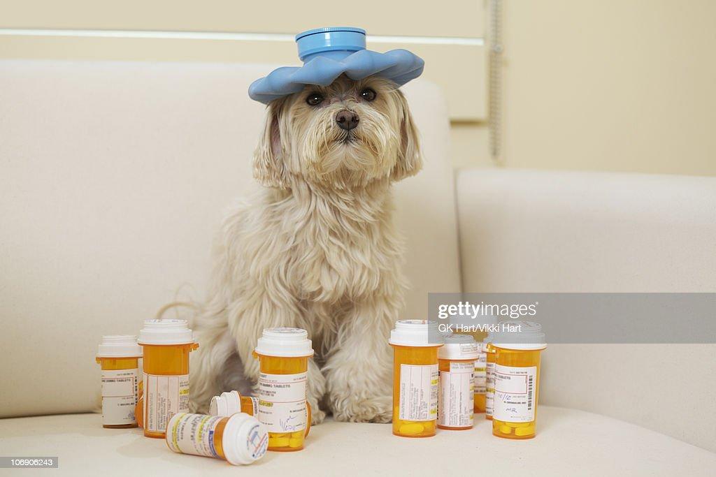 Maltese Poodle Dog wearing hot water bottle  : Stock Photo