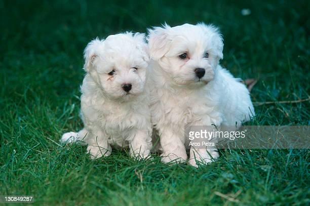 Maltese puppies, 6 weeks