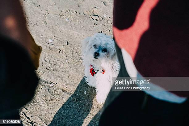Maltese puppy between his owner's leg
